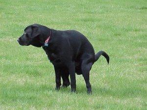 dog crapping